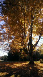 falltree15